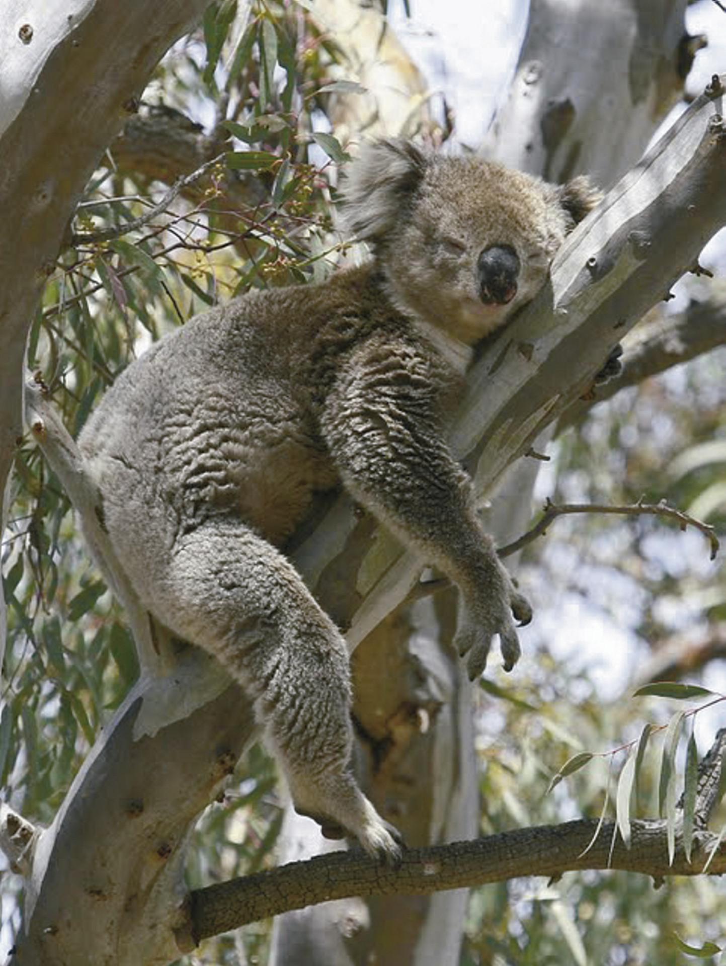 Savannah Walkabout Tagestour Ex Koala